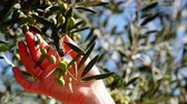 jardineiro : Gardener hand touching olive on tree 4K