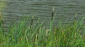 Closeup of green fresh grass reeds on lake shore.