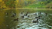 mere : Misty autumnal morning on a lake with ducks and water birds