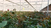 broto : close-up of a rose on a greenhouse. large industrial hothouse with Dutch roses
