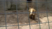 Siberian brown bear in a zoo cage. Concept - animals in captivity
