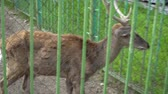 Young deer behind the zoo cage. Concept - animals in captivity Stock mozgókép