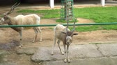 boynuzlu : Family of cloven-hoofed animals in the zoo Stok Video