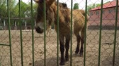 A family of pony horses in a zoo cage. Concept - animals in captivity