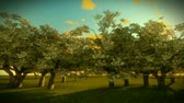 cherrytree : Cherry Trees and Sunrise Time Lapse Stock Footage