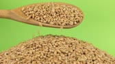 pours out : Wooden spoon pours grains wheat at heap of wheat on a green screen