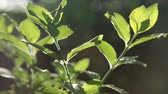 sunlights : Play of sun through new fresh green leaves. Solar glare in the lens. Stock Footage