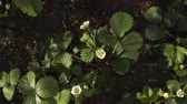 guloseima : Blossoming strawberry flowers in the garden, top view.