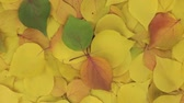 yaprak döken : Rotation of the background of yellow leaves. View from above.