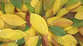 rotated : Rotation of the background of yellow leaves. View from above.