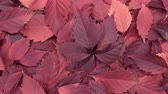outonal : Rotation of the background of red leaves. View from above.