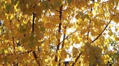 outonal : Rays of the sun through the yellow autumn leaves of apricot. The beauty of autumn Vídeos