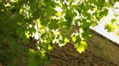 vivid wall : Sun through the leaves and the tree growing from the stone wall. Stock Footage