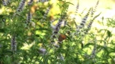 lifestyle : herbal mint Stock Footage