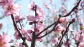 blossoming : spring tree flowers blossom