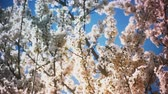 flora : Spring blossom tree with flowers Stock Footage