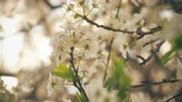 flora : Spring blossom tree with flowers 4k Stock Footage