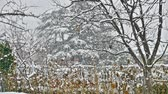 snowfall : snow falls on trees Stock Footage