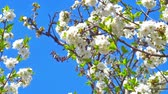 cherry blossom branch : spring flowers on tree slow motion