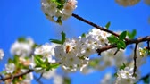 bloemen : spring flowers on tree slow motion