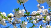 soft fruits : spring flowers on tree slow motion