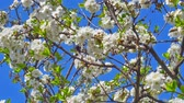 자연의 아름다움 : spring flowers on tree slow motion