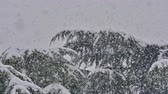 tempestade de neve : strong snowfall at pine tree
