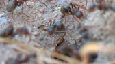 mravenec : ants in a nest hole 60 fps to 30 fps 4k
