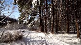 trees : Walk along the path in the snowy forest. Stabilized gimbal pov shot. Sunny day.