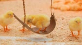 монтаж : Small chicks play and relax in the paddock