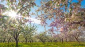 blooming : Blossoming apple orchard, time-lapse with crane