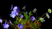 kar taneciği : Spring flower Hepatica blossoms,  time-lapse Stok Video