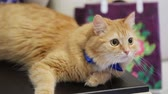 amor : Cute Redhead Kitty In A Blue Bow Tie