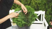 sprossen : Girl specialist Botanical garden carries out procedure of rejuvenation plant Thuja. Stock Footage