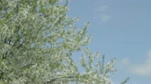 веточка : Huge cherry tree with bushy branches smoothly swaying on the wind against the blue sky.