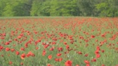 forest : Red poppies in blossom swaying on the wind in green grass with  furry and deciduous shrubs forest in the background. Stock Footage