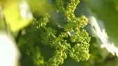 pedúnculo : Close-up of two unripe grape peduncles in green foliage moving on wind. Vídeos
