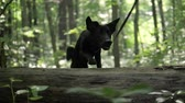 pooch : Dog breed Jack Russell Terrier walking in the forest, black spring mongrel pooch jump over the tree, dog walkinig walk the dog Stock Footage