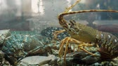 humr : lobsters, shells and crabs in aquarium at a seafood market fresh restaurant cafe bar