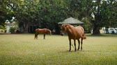 galope : Horse on the field grass in india sri lanka, young brown horses