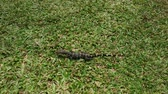 varanus : Varanus salvator. Young water varan or striped monitor lizard on the hunt.