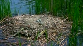 Outdoor Footage of Swan nest and Swan eggs in the lake. Nest is built from dry Cattail and Bulrush leaves. Footage is  suitable for nature theme education.  Стоковые видеозаписи