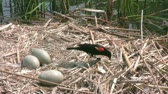 olhos castanhos : Outdoor footage of Adult Red-winged Blackbird in swan nest with eggs around the Lake and its behavior when take a food. Footage is suitable for educational Purposes.
