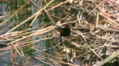 Outdoor footage of Adult Red-winged Blackbird around the Lake and its behavior when take a food. Footage is suitable for educational Purposes.
