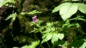 Moving Picture of wild purple flowers and  plants grow up over Niagara Escarpment mossy rocks around Tiffany Creek near by Tiffany Falls.