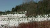 borovice : 4 clip sequence of Pine Trees Farm under the snow in sunny cold winter day.  Dostupné videozáznamy