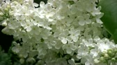Close up footage of white lilac (blossom) bloom in windy day.