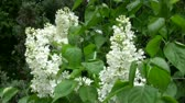 Footage of white lilac (blossom) blooming tree in windy day.