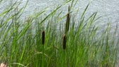 Footage of group of three bulrushes and grass on lakeshore in windy weather conditions.  Стоковые видеозаписи