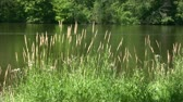 Footage of natural background - lake (pond) and plants, grass and forest on the background.